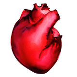 Human heart isolated on white Royalty Free Stock Photo