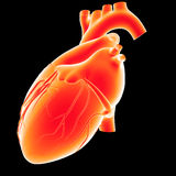 Human Heart lateral view Royalty Free Stock Photos