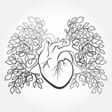 Human heart and lungs Royalty Free Stock Photos