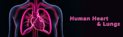 Human Heart  and Lungs Royalty Free Stock Image