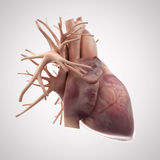The Human Heart Stock Images