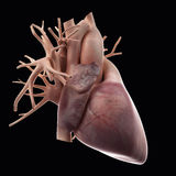 The human heart. Medically accurate illustration of the human heart Stock Photo
