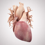 The Human Heart. Medically accurate illustration of the human heart Royalty Free Stock Photos