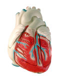 Human Heart Model. This is a medical (anatomically correct) model of the human heart, showing the ventricles and major vessels (aorta, other veins and arteries Royalty Free Stock Images