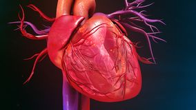 Human Heart. The heart is a muscular organ about the size of a closed fist that functions as the body's circulatory pump. It takes in deoxygenated blood Stock Photography