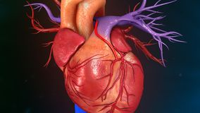 Human Heart. The heart is a muscular organ about the size of a closed fist that functions as the body's circulatory pump. It takes in deoxygenated blood Stock Image