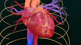 Human Heart. The heart is a muscular organ about the size of a closed fist that functions as the body's circulatory pump. It takes in deoxygenated blood Stock Photo