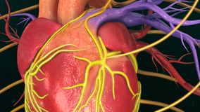 Human Heart. The heart is a muscular organ about the size of a closed fist that functions as the body's circulatory pump. It takes in deoxygenated blood Stock Images
