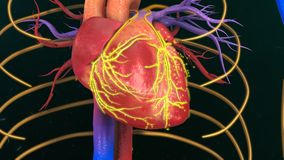 Human Heart. The heart is a muscular organ about the size of a closed fist that functions as the body's circulatory pump. It takes in deoxygenated blood Royalty Free Stock Photos
