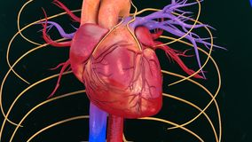 Human Heart Royalty Free Stock Photos