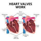 Anatomy of the human heart Royalty Free Stock Photography