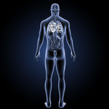 Human Heart with organs posterior view royalty free illustration