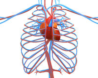 The human heart with the other vessels izolirovannі on white 3d Stock Photography
