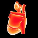 Human Heart posterior view Royalty Free Stock Image