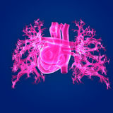 Human Heart Posterior view. The heart is a muscular organ about the size of a closed fist that functions as the body's circulatory pump. It takes in Stock Photos