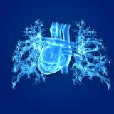 Human Heart Posterior view Royalty Free Stock Photos