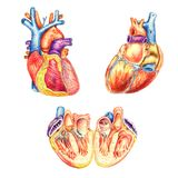 The human heart viewed from the front, behind and lengthwise cut vector illustration