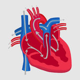 The human heart, the study of anatomy, the path of blood flow in Royalty Free Stock Photography