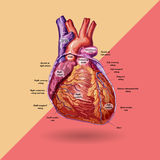 Human heart vector Royalty Free Stock Photo