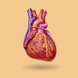 Human heart vector Stock Images