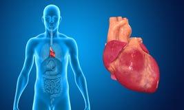 Human Heart Stock Photography