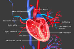 Human Heart. The human heart is a vital organ that functions as a pump, providing a continuous circulation of blood through the body, by way of the cardiac Royalty Free Stock Image