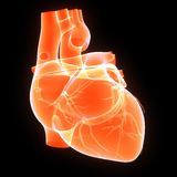 Human Heart. The human heart is a vital organ that functions as a pump, providing a continuous circulation of blood through the body, by way of the cardiac Stock Images