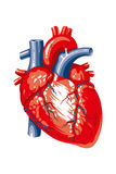Human heart on a white background Royalty Free Stock Images