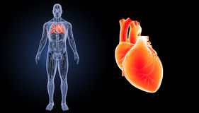 Human Heart zoom with anatomy anterior view Royalty Free Stock Images