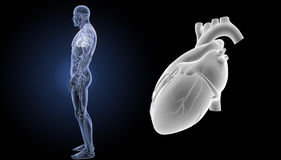 Human Heart zoom with anatomy lateral view Stock Photos