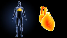 Human Heart zoom with body anterior view Stock Images