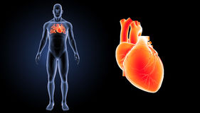 Human Heart zoom with body anterior view Royalty Free Stock Photos