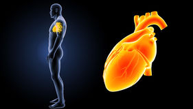 Human Heart zoom with body lateral view Royalty Free Stock Image