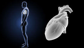 Human Heart zoom with body lateral view Royalty Free Stock Photos