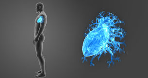 Human Heart zoom with Body Lateral view. The heart is a muscular organ about the size of a closed fist that functions as the body's circulatory pump. It takes Stock Photo