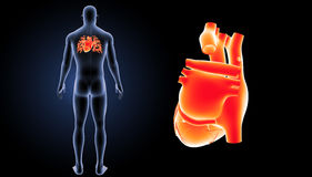 Human Heart zoom with body posterior view. The heart is a muscular organ about the size of a closed fist that functions as the body's circulatory pump. It Royalty Free Stock Photo