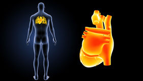 Human Heart zoom with body posterior view Stock Photo