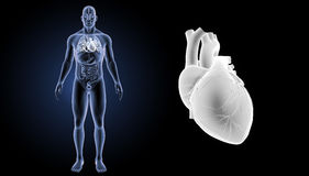 Human Heart zoom with organs anterior view Stock Images