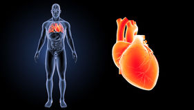 Human Heart zoom with organs anterior view Stock Image