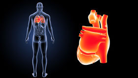 Human Heart zoom with organs posterior view Royalty Free Stock Photography