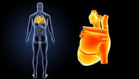 Human Heart zoom with organs posterior view Royalty Free Stock Photo