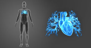 Human Heart zoom with Skeleton Anterior view. The heart is a muscular organ about the size of a closed fist that functions as the body's circulatory pump. It Stock Photo