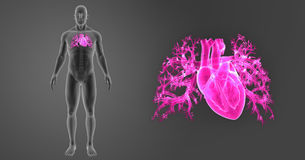 Human Heart zoom with Skeleton Anterior view. The heart is a muscular organ about the size of a closed fist that functions as the body's circulatory pump. It Stock Photos
