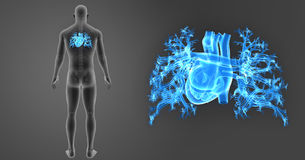 Human Heart zoom with Skeleton Posterior view. The heart is a muscular organ about the size of a closed fist that functions as the body's circulatory pump. It Stock Photo