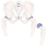 Human hip bones in close up. Illustration Royalty Free Stock Images