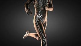 Human hip radiography x-ray scan