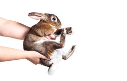 Human hold rabbit with hand isolated on white Royalty Free Stock Images