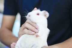 Huge white hamster with red eyes Royalty Free Stock Image