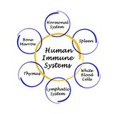 Human Immune Systems. Components of Human Immune Systems Stock Photo