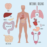 Human internal organs Royalty Free Stock Photo